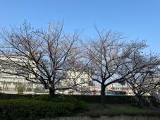 桜が満開ですね!!