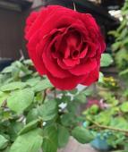 薔薇〜が咲いた〜薔薇〜が咲いた~