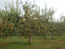 りんごパワー