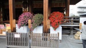 秋のお花の菊に出会って…